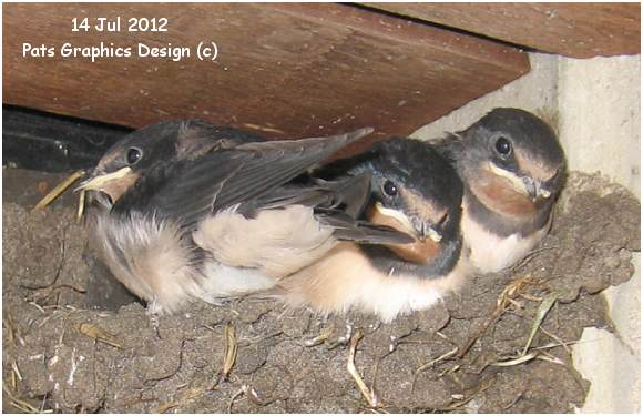 Four swallows in Nest '1' - near office